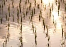 Particolare del giacimento del riso, Ubud, Bali Fotografie Stock Libere da Diritti