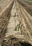 Particolare del giacimento dell'asparago Fotografia Stock Libera da Diritti
