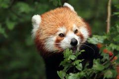Particolare del panda rosso Fotografia Stock