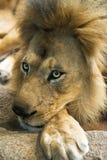 Particolare del primo piano del fronte e della criniera maschii del leone Immagine Stock Libera da Diritti
