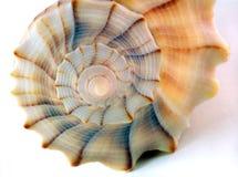 Particolare del Seashell contro bianco Fotografie Stock Libere da Diritti