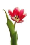 Particolare del tulipano Fotografia Stock Libera da Diritti