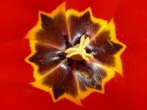 Particolare del tulipano Fotografie Stock Libere da Diritti