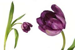 Particolare del tulipano del fiore ed isolato Immagini Stock