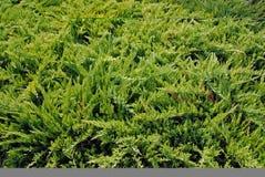 Particolare dell'albero del Thuja Fotografia Stock Libera da Diritti