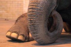 Particolare dell'elefante Fotografia Stock