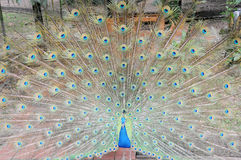 Particolare della coda del pavone Fotografie Stock