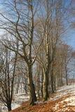 Particolare della foresta del faggio di inverno. Fotografia Stock Libera da Diritti