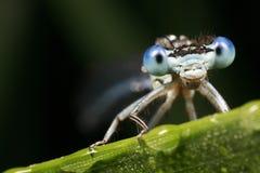 Particolare della libellula blu Fotografie Stock