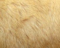 Particolare della pelliccia dell'orso polare Fotografie Stock Libere da Diritti