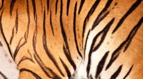 Particolare della pelliccia della tigre Immagine Stock Libera da Diritti