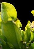 Particolare della pianta carnivora Fotografie Stock