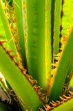 Particolare di Palmtree Fotografia Stock