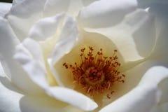 Particolare di Rosa bianca immagini stock