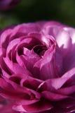 Particolare di rosa di colore rosa Fotografia Stock Libera da Diritti