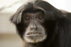 Scimmia di Siamang Fotografia Stock