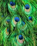 Particolare di una coda del pavone Fotografie Stock Libere da Diritti