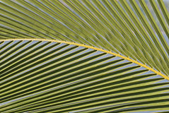 Particolare di una foglia di palma fotografia stock libera da diritti