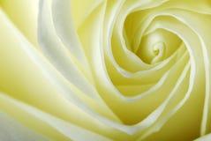 Particolare di una rosa Immagini Stock