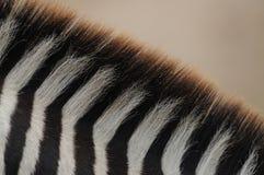 Particolare di una zebra delle pianure Immagini Stock Libere da Diritti
