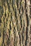 Particolare di vecchia corteccia di albero Fotografie Stock Libere da Diritti