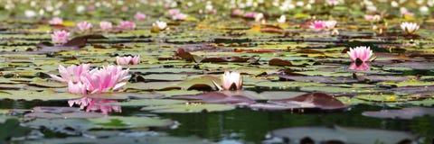 Particolare di Waterlilies Fotografia Stock