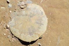 Particolare fossile del dollaro di sabbia Fotografie Stock Libere da Diritti