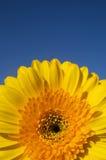 Particolare giallo del gerber della margherita Immagine Stock