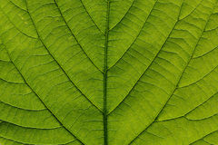 Particolare a macroistruzione del foglio verde Fotografia Stock Libera da Diritti