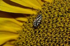 Particolare a macroistruzione della farfalla sul girasole Fotografie Stock