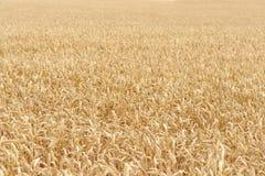 Particolare maturo del campo di granulo Immagini Stock Libere da Diritti