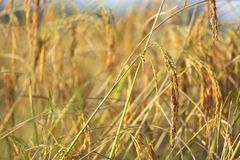 Particolare maturo del riso Immagini Stock Libere da Diritti