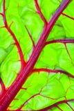 Particolare rosso organico del foglio della bietola da coste svizzera Immagini Stock Libere da Diritti