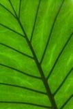 Particolare verde del foglio Fotografia Stock