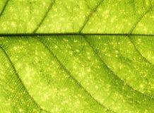 Particolare verde del foglio Fotografia Stock Libera da Diritti