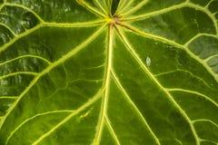 Particolare verde del foglio Fotografie Stock Libere da Diritti