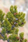 Particolari dei coni del pino Immagini Stock Libere da Diritti