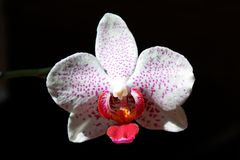 Particolari del fiore in fioritura Immagine Stock