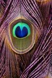 Particolari delle piume di coda del pavone Fotografie Stock