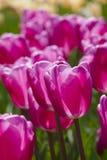 Particolari dentellare del tulipano Immagini Stock Libere da Diritti