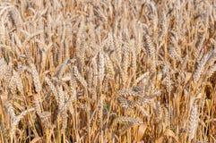 Particolari di grano tenero fotografia stock
