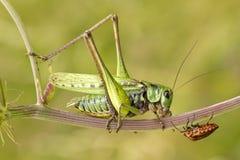 Particolarmente riunione dell'insetto Fotografia Stock