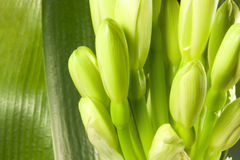 Buds clivia Stock Photo