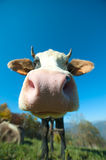 Particular of a colored cow. In the blue sky Stock Image