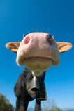 Particular of a colored cow. In the blue sky Royalty Free Stock Images