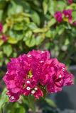 Particular flower bougainvillea Stock Photo