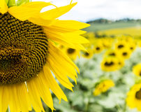 Particular of Sunflower field in Tuscany. Near Florence Stock Photography