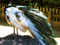 Particular of a white peacock.  Stock Image