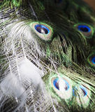 Particular of a white peacock. Plumage Royalty Free Stock Photos