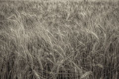 Wheat close up on farm field Stock Photography